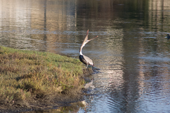 Pelican-Stretching_0119_med