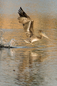 Pushing-off-the-water-to-lunge-for-fish_0532_tn