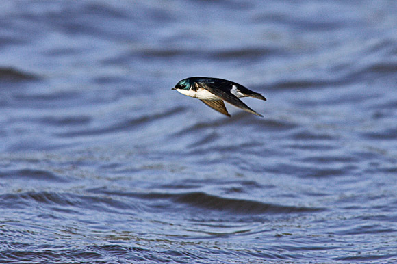 It Is Possible to Photograph a Swallow in Flight! - Rick A. Brown