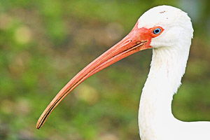 My Favorite Florida Birds, The Ibises - Don Chamberlain